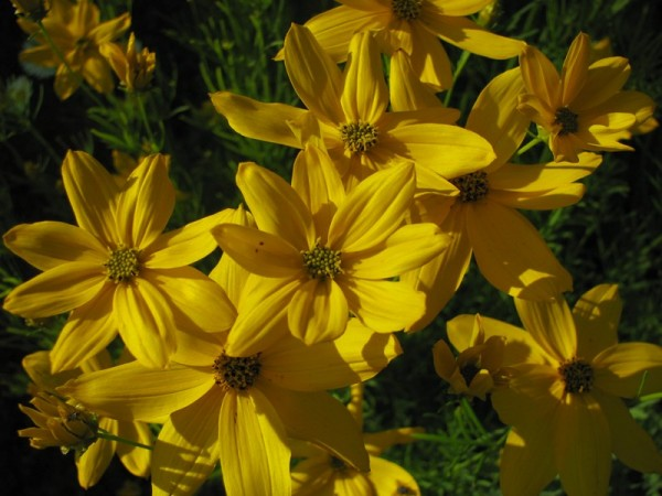 Mädchenauge - Coreopsis verticillata ´Grandiflora`